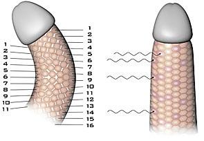 Рост новых клеток и тканей